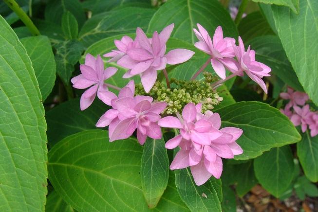 rosehortensia